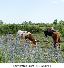 Grazing cattle in a pastureland with junipers and blue summer flowers at the island Oland in Sweden