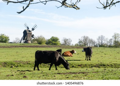 Grazing cattle in a pastureland with an old wooden windmill in the swedish nature reserve at Horns Kungsgard on the island Oland