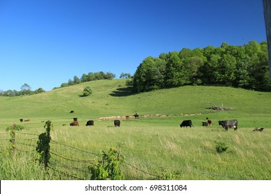 Grazing cattle in rural Virginian countryside