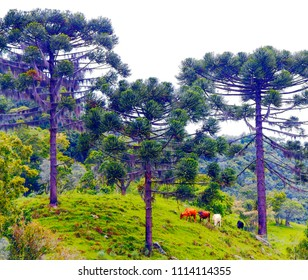 Grazing colorful cows. Four different colors cows grazing on mountain landscape on southern Brazil with exotic pine trees (Araucaria angustifolia).
