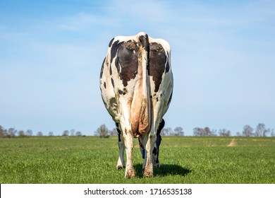 Grazing cow from behind, stroll towards the horizon, empty udder, in a field under a blue sky with clouds.