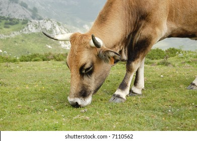 Grazing Cow Close up