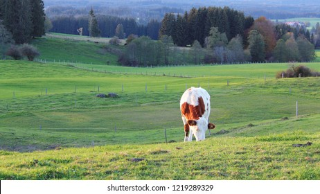 Grazing cow in the last daylight in beautiful panorama landscape in fall, Bavaria