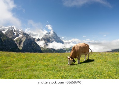 Grazing cow near Eiger and neighborhood in Berner Alpen, Switzerland