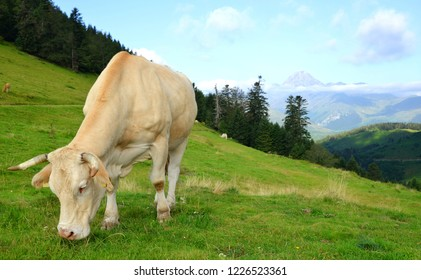 Grazing cow on a mountain meadow. Col D'Aspin in Pyrenees mountains, France.