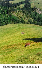 Grazing Cow in Pieniny mountains. Summer.