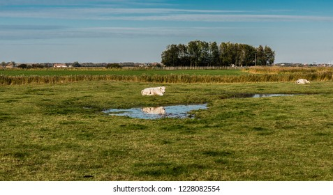 Grazing cow reflecting in a puddle at the green meadows of the polders at Uitkerke, Blankenberge, Belgium.