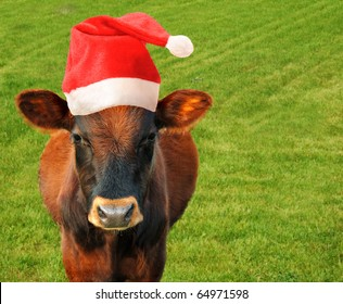 Grazing cow in a Santas hat.