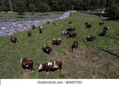Grazing cows, Aosta Valley, Italy