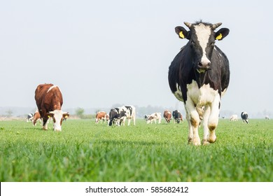 Grazing cows and cow is walking
