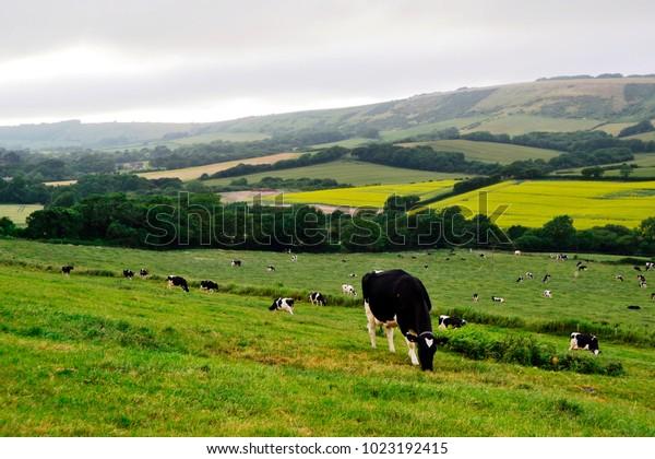 Grazing cows in a farmland Dorset,UK