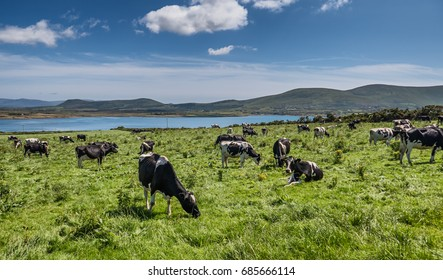 Grazing cows in a flock on a summers day, Ireland