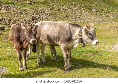Grazing Cows in The Mountains, Passo Rombo - Timmelsjoch, Italian-Austrian Border, Europe