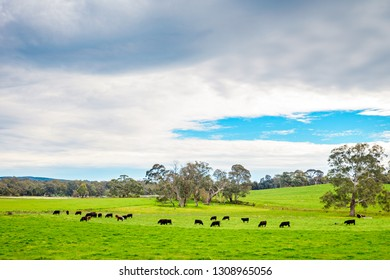 Grazing cows on a daily farm in Adelaide Hills, South Australia