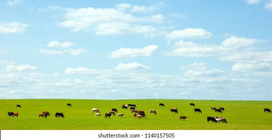 Grazing cows in pasture. Wiltshire, England