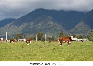 Grazing cows, rural landscape, Fox Glacier, West Coast, South Island, New Zealand