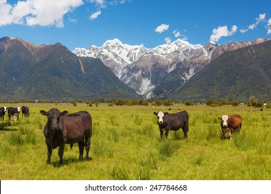 Grazing cows with Southern Alps in the background, South Island, New Zealand