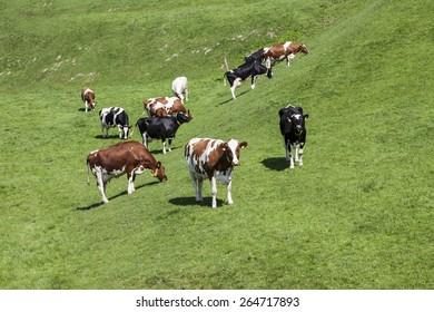Grazing cows in spring, Holperdorp village, Tecklenburger Land, North Rhine-Westphalia, Germany, Europe