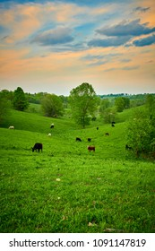 Grazing Cows at Sunset