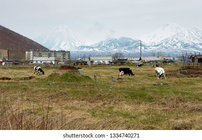 Grazing cows in the village Zaozerniy in Kamchatka, and view on Koryak and Avacha Volcanos, Russia