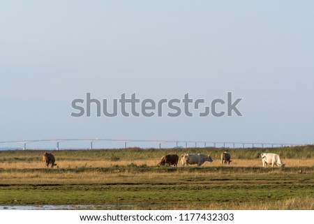 Grazing cows in a wetland at the swedish island Oland with the landmark The Oland Bridge in the background