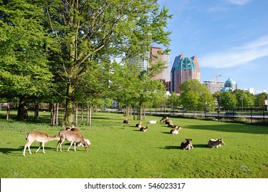 grazing deer in the center of the Hague city, Netherlands, with the high business buildings in the background