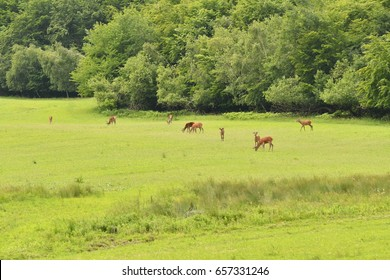 grazing deers stag hart on the meadow