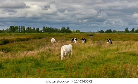 Grazing of domestic cattle in the swamps of Zaandam in the Netherlands
