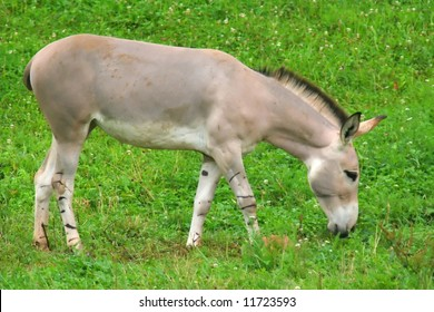 A grazing donkey in nature
