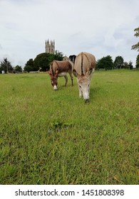 Grazing donkies in a green field with a church tower in the background