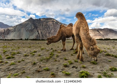 The grazing double humped camels at Nubra Valley