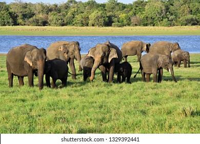 Grazing Elephants in Minneriya National Park, Habarana, Sri Lanka