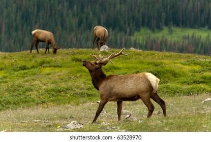Grazing Elk In Tundra