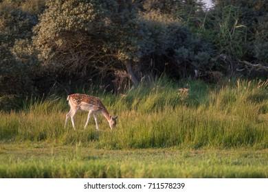 Grazing fallow deer doe (dama dama) in long grass near bushes.