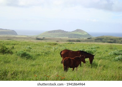 Grazing feral horses with Rano Raraku crater in the background, Easter Island