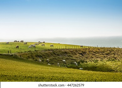 Grazing french Charolais Cattle on the meadow near the ocean in Normandy, France