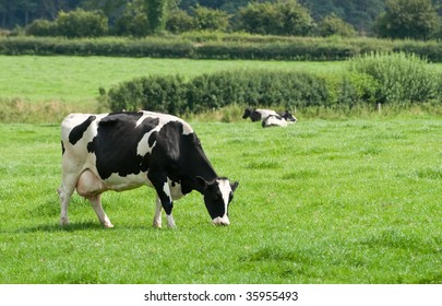 Grazing friesian cow in lush meadow with other cows lying down in background