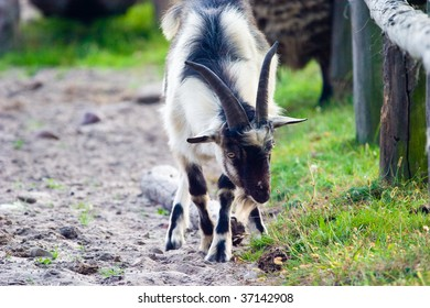 grazing goat in sunny summer day