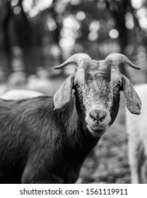 Grazing goats in Bidwell Park, Chico , California.