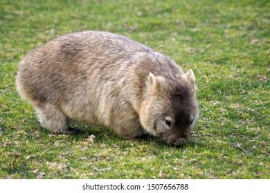 Grazing hairy nosed, short legged wombat