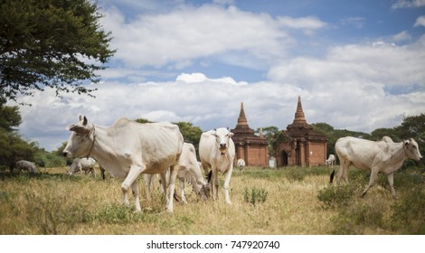 Grazing herd of cows walking through the historical Bagan Archeological Zone in Myanmar with Stupas in the background