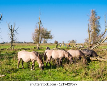 Grazing herd of konik horses and people walking in nature reserve Oostvaardersplassen, Flevoland, Netherlands