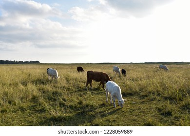 Grazing herd of young cattle in a green wetland
