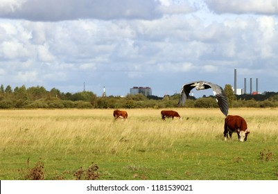 Grazing hereford cattle. Vestamager, Copenhagen, Denmark, Scandinavia. The grey heron. Wild life in the city, a next to us.