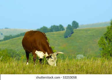 grazing hereford cow at the hills land