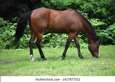 Grazing Horse with Black Mane and Tail in Green Pasture