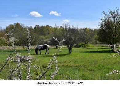 Grazing horse in a green field in springtime