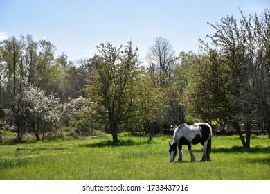 Grazing horse in a green pastureland in spring season