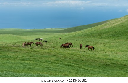 Grazing horses at the meadows of Kohala on the Big Island of Hawaii