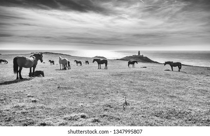 Grazing horses on coastal pasture with Strumble Head Lighthouse in the background. Pembrokeshire, Wales, UK. Monochrome edit